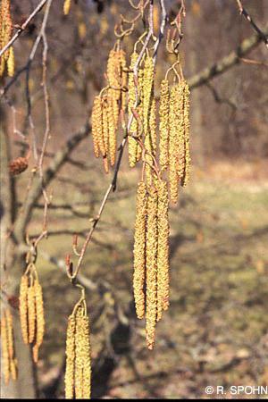Baum mit herzförmigen blättern