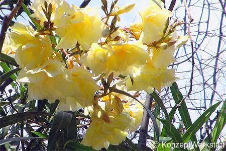 Stihl Baumlexikon Oleander Gemeiner